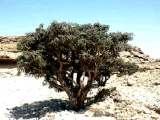 boswellia_serrata.jpg