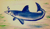 Haai, de bron van haaiekraakbeen, JMKH